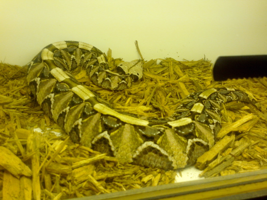 "This is 1 of my female gaboon viper ""Fang"""