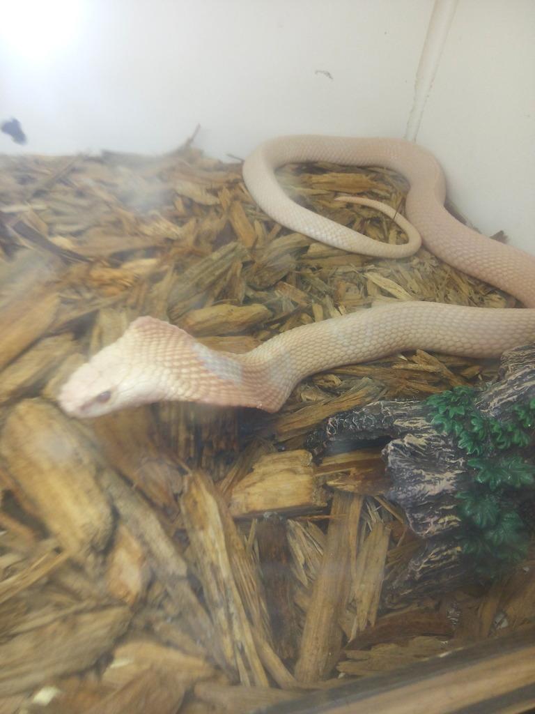 My Sunset Monocle Cobra